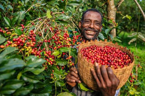картинка - Климат и кофейное зерно